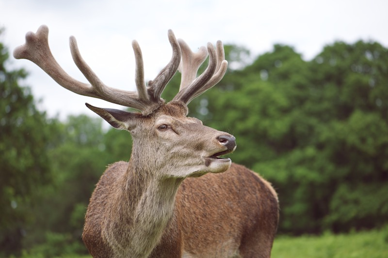 Richmond Park Treasure Deer