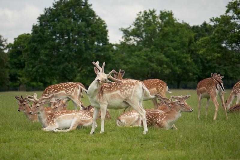 Richmond Fallow Deer Scratching